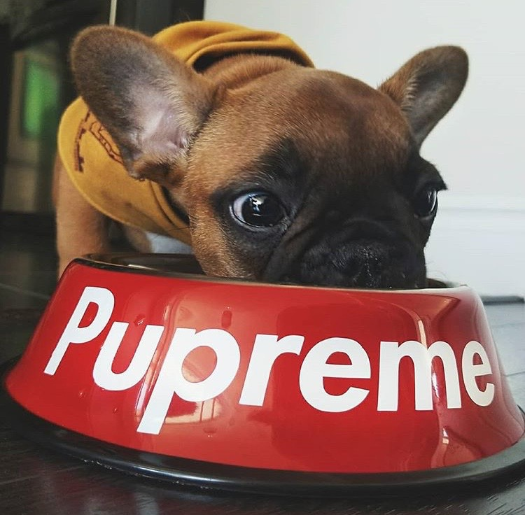 Carlos the Frenchie with Pawmain Pupreme Bowl