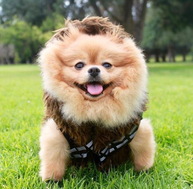Chewie the Pom